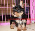 Yorkie puppies for sale near Atlanta, Ga (24)