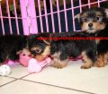 Yorkie puppies for sale near Atlanta, Ga (3)