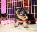 Yorkie puppies for sale near Atlanta, Ga (4)