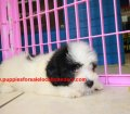 Coton De Tulear puppies for sale in Georgia (4)