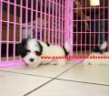 Coton De Tulear puppies for sale in Georgia (8)