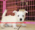 West Highland Terrier puppies for sale in Georgia (3)