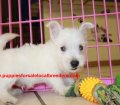 West Highland Terrier puppies for sale in Georgia (4)