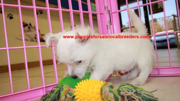 Happy Little Westie Puppies for sale in Georgia