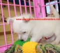West Highland Terrier puppies for sale in Georgia (5)