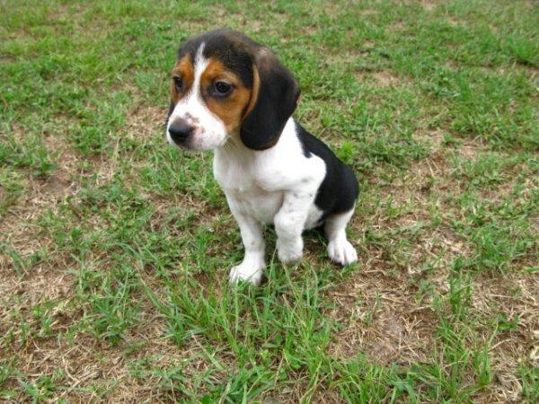 Stunning Tri Color Beagle Puppies For Sale Near Atlanta Georgia