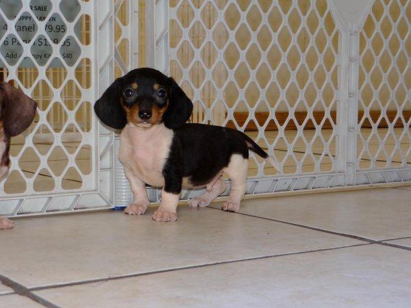 Precious Black Tan Miniature Dachshund Puppies For Sale In