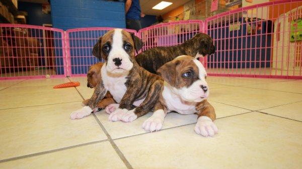 Huggable, Boxer Puppies For Sale In Atlanta, Ga at ...