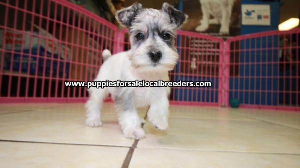 Beautiful Merle Mini Schnauzer Puppies For Sale Georgia Local Breeders Near Atlanta Ga At Puppies For Sale Local Breeders