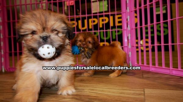 Pretty Shih Tzu Puppies For Sale Georgia Local Breeders Gwinnett