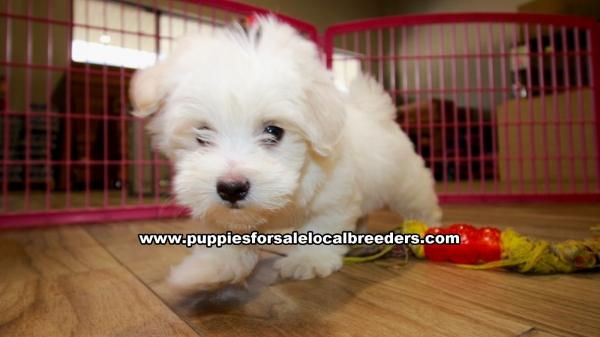 Beautiful Havanese Puppies For Sale Georgia Local Breeders