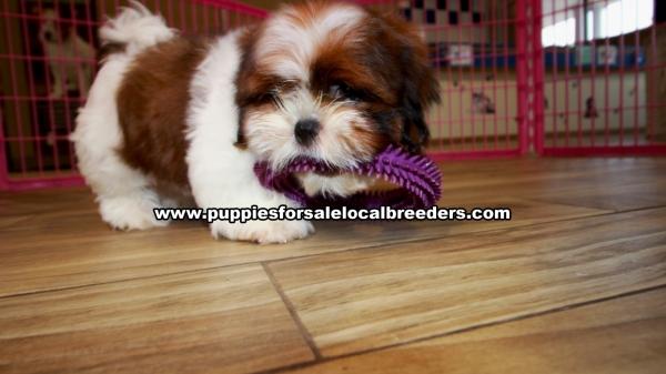 Shih Tzu Puppies For Sale Georgia Local Breeders Gwinnett