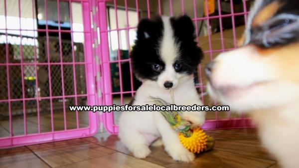 Balck And White Pomeranian Puppies For Sale Georgia Local Breeders Gwinnett County Ga At