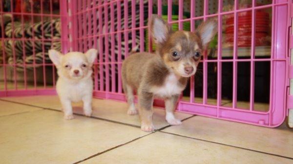 Gorgeous Teacup, Blue & Tan, Short Hair, Chihuahua Puppies