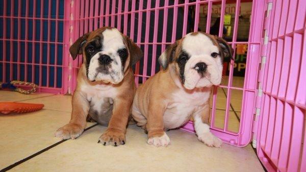 English Bulldog Puppies For Sale Near Warner Robins Ga At