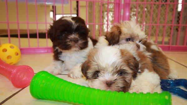 Adorable Imperial Shih Tzu Puppies For Sale Near Atlanta Ga At