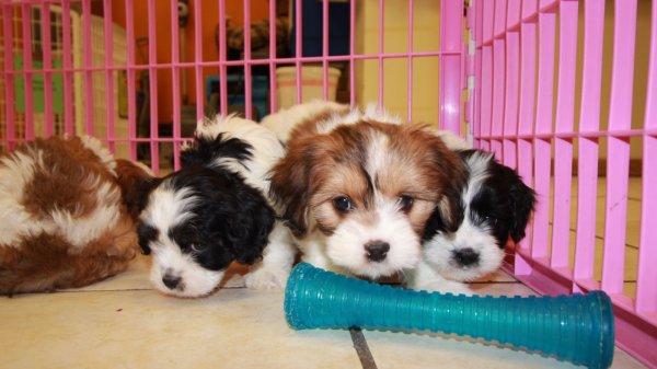 Snuggly Cavachon Puppies For Sale In Georgia USA