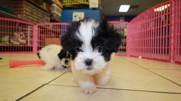 Beautiful Malti Tzu Puppies For Sale In Atlanta Georgia