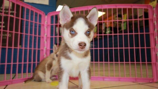 Beautiful Red Siberian Husky Puppies For Sale Georgia Local