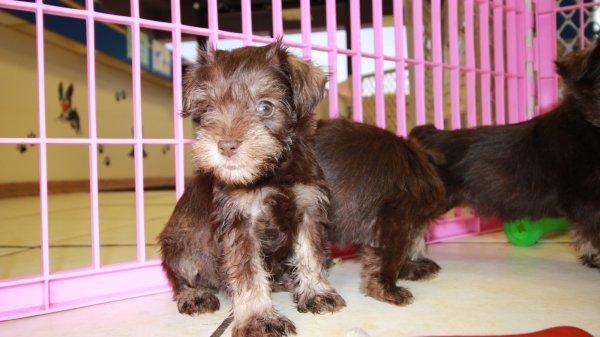 Sweet Miniature Schnauzer Puppies For Sale, Georgia Local ...