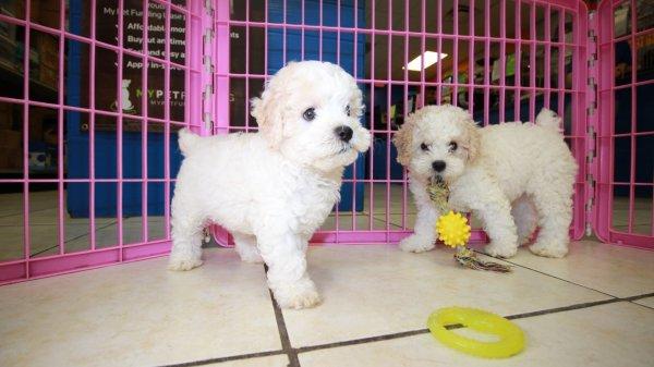 Adorable Miniature Poodle Puppies For Sale Georgia Local