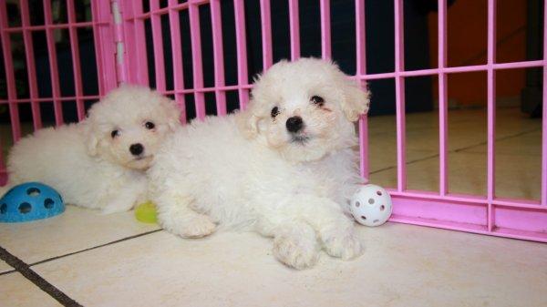 Happy Bichon Frise Puppies For Sale, Georgia Local Breeders