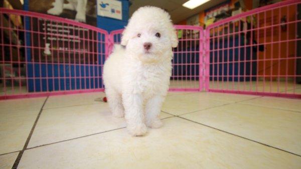 Beautiful Little White Poodle Puppies For Sale Georgia Local Breeders Near Atlanta Ga At